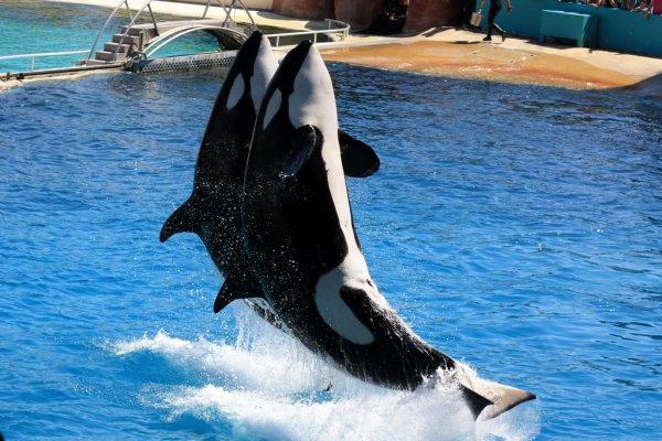 Les orques dans les parc aquatiques (7/22)