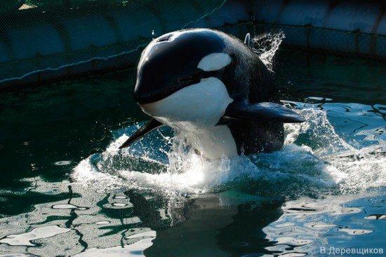 Les orques dans les parc aquatiques (18/22)
