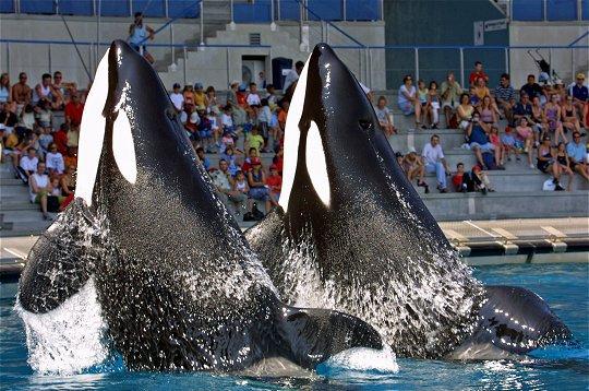 Les orques dans les parc aquatiques (19/22)