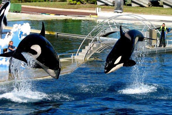 Les orques dans les parc aquatiques (20/22)