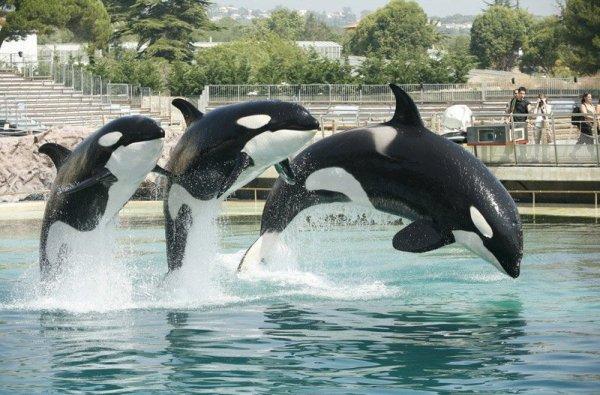 Les orques dans les parc aquatiques (21/22)