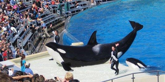 Faut-il libérer les orques en captivité ?
