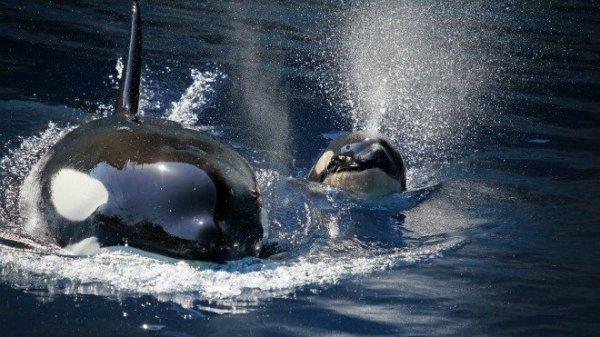 Deux beaux orques