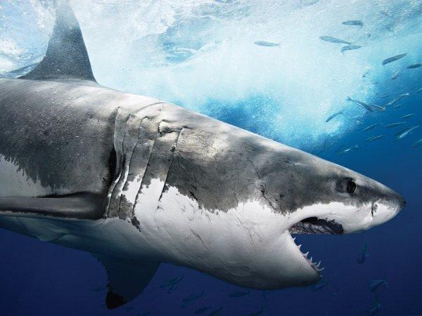 Un magnifique requin blanc
