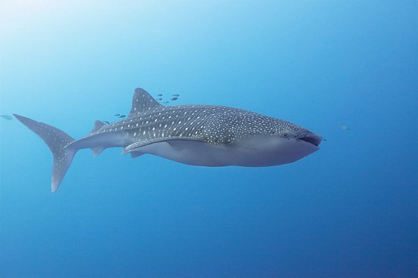 Un requin baleine magnifique