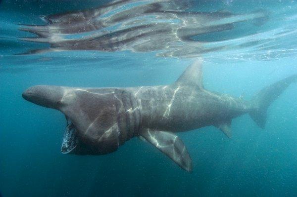 Un requin pèlerin inoffensif