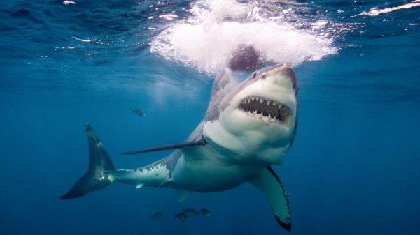 Les dents du requin