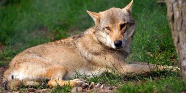 Un loup au repos