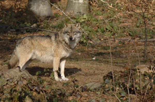 Que c'est beau un loup (2/3)