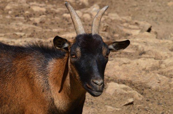 Une très belle chèvre (2/3)