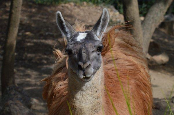 Un beau lama (2/3)