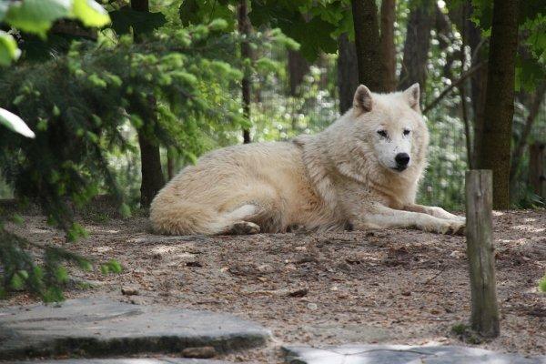 Qu'il est beau ce loup