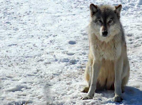 Un très beau loup assis