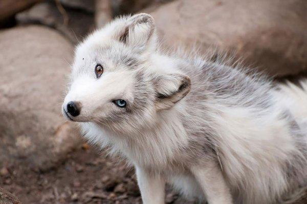 Un renard c'est magnifique