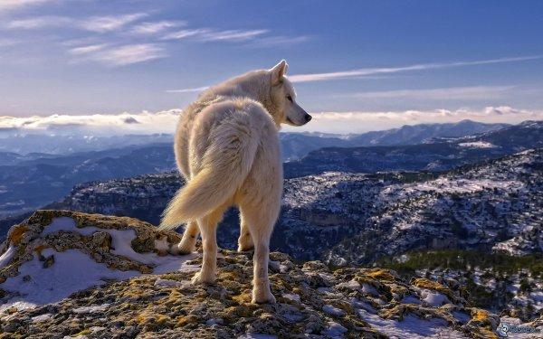 Un loup c'est magnifique (2/2)