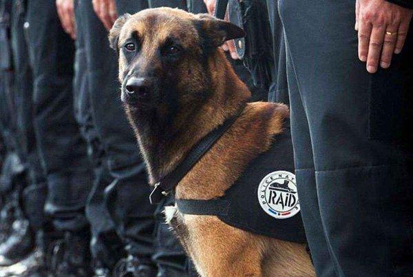 Diesel, la chienne-policière du RAID, va recevoir la plus haute distinction militaire pour animaux