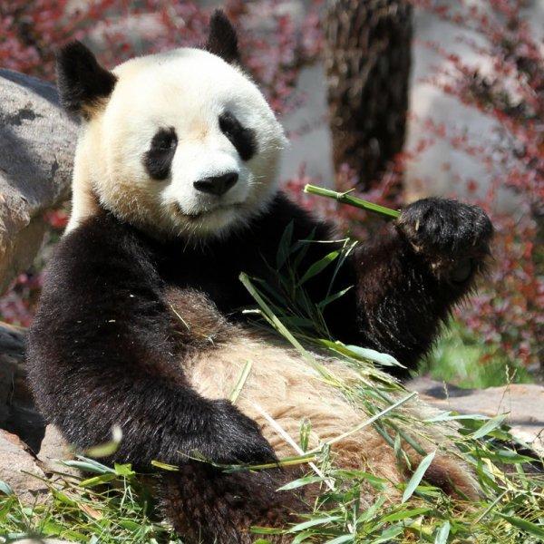De magnifique panda (43/44)