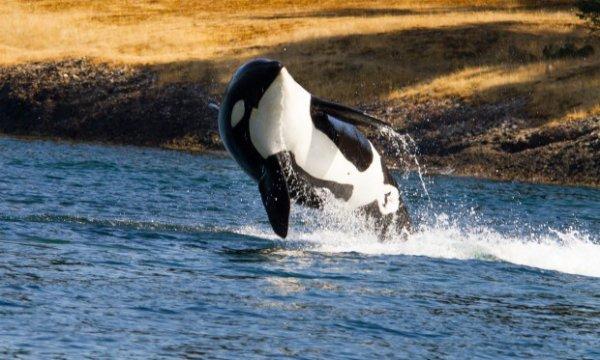 Le bel orque