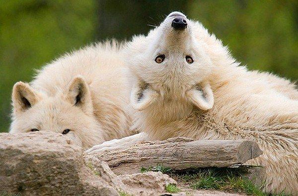 Qu'il est curieux ce loup
