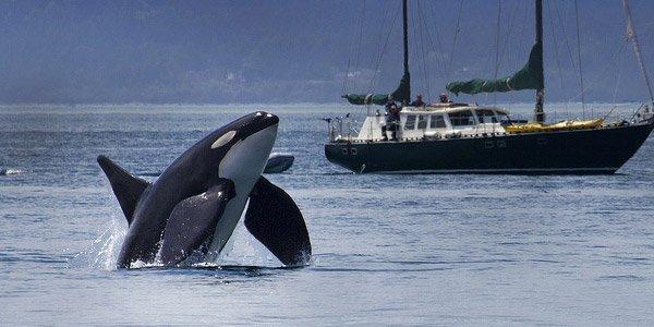 Une orque qui nous mène en bateau