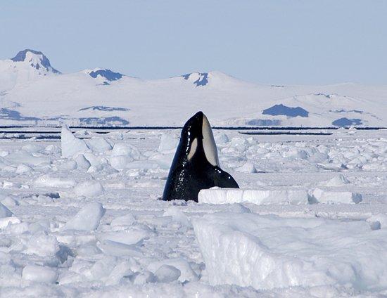 Des orques dans la glace (2/4)
