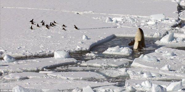 Des orques dans la glace (3/4)