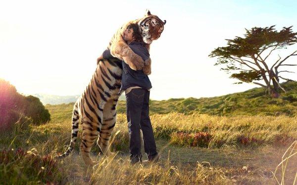 Un tigre très affectueux