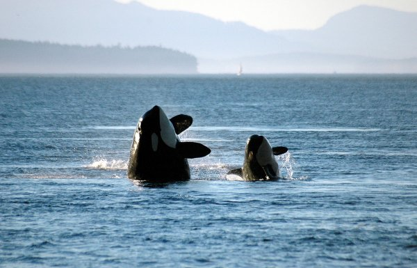 Des orques qui sautent (3/3)