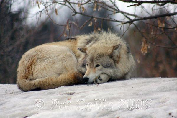 Silence loup au repos
