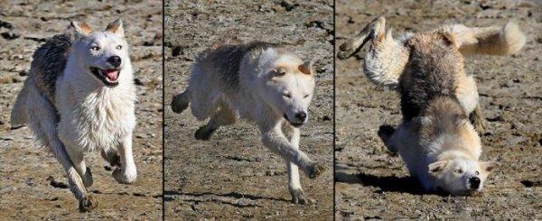 Un loup qui se casse la binette
