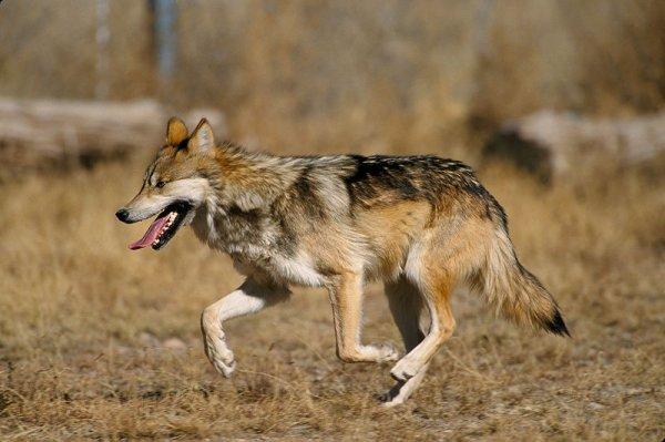 Un loup qui a de la classe