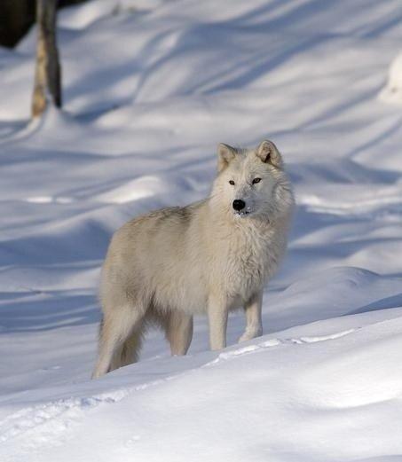 Un loup tout blanc magnifique