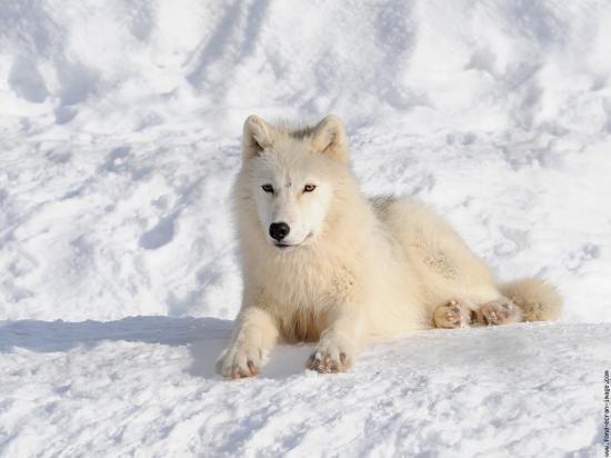 Un loup blanc allongé