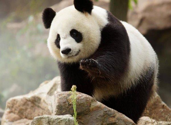 Un panda au sommet de son rocher