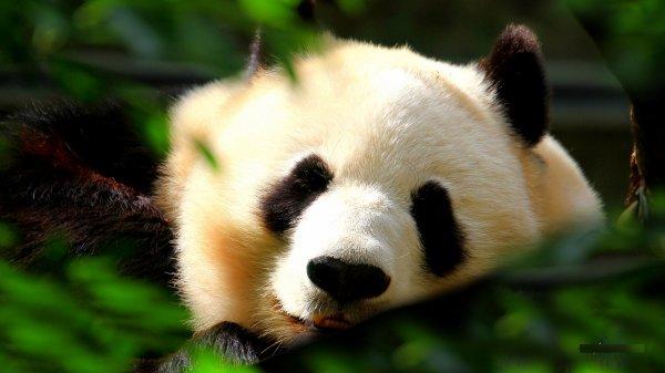 Cache cache panda
