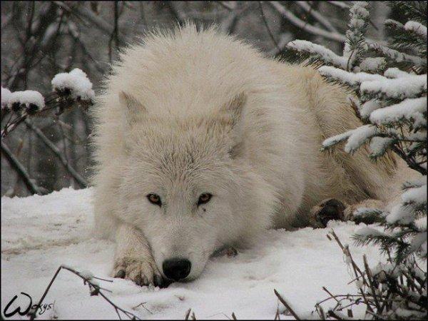 Un beau loup (1/2)