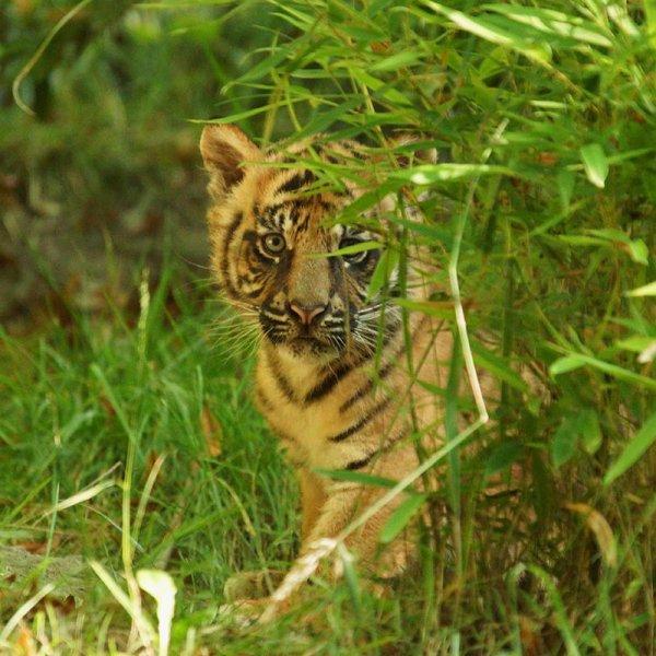 Un tigre qui se cache