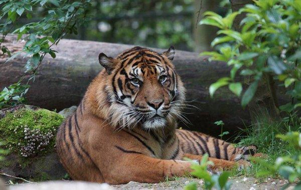 Un beau tigre (1/2)