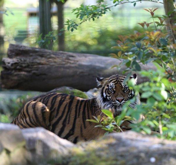 Un beau tigre (2/2)