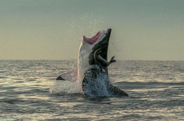 Un requin à l'attaque