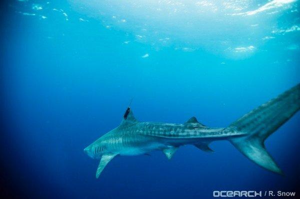 Un requin qui nage (2/5)