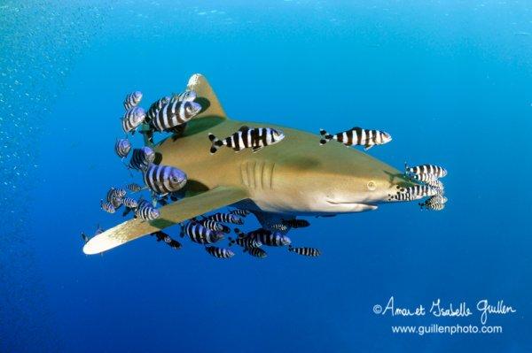 Un requin qui nage (3/5)