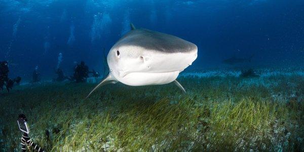 Un requin qui nage (4/5)
