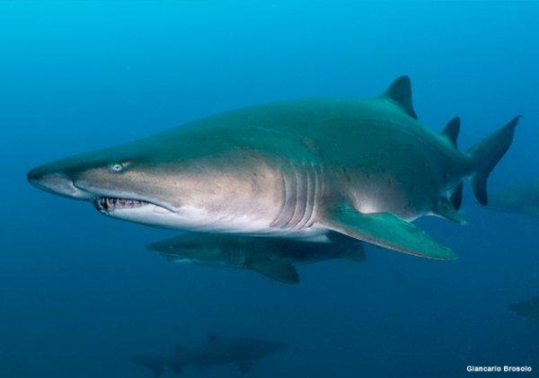 Un requin qui nage (5/5)