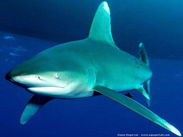Chaque années 100 millions de requins sont tués (1/5)