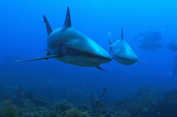 Chaque années 100 millions de requins sont tués (2/5)