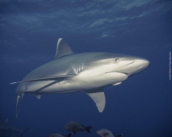 Chaque années 100 millions de requins sont tués (3/5)
