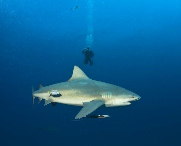 Chaque années 100 millions de requins sont tués (4/5)