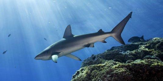 Chaque années 100 millions de requins sont tués (5/5)