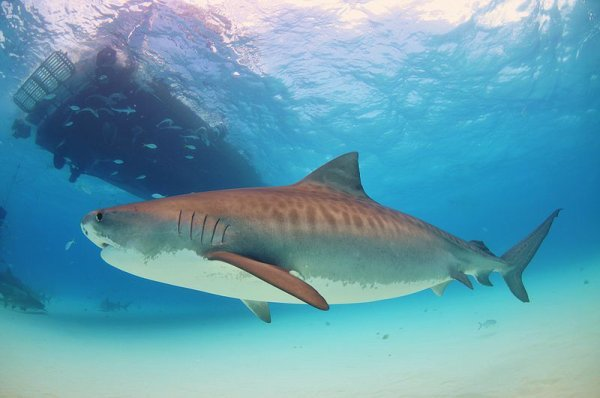Un beau requin tigre (2/2)
